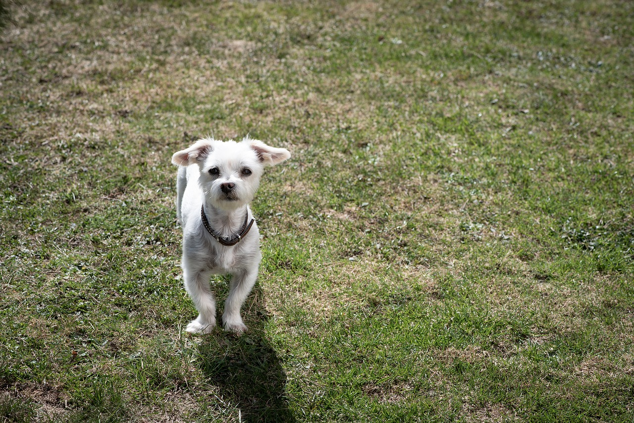 dog, white, small